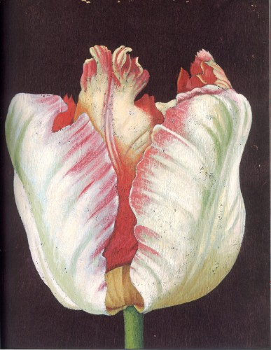 花/tulipe-com
